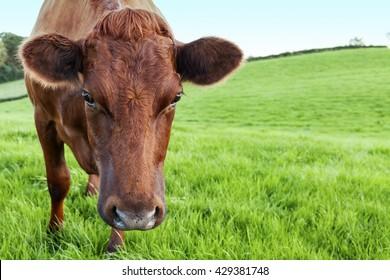 Red Ayrshire Heifer