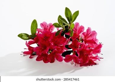 Red Azalea, blossoms