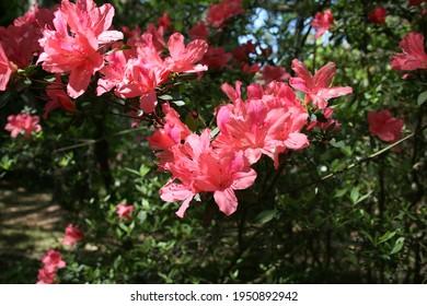 Red Azalea bush in the park
