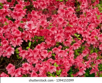 Red Azaleas Against a Green Background