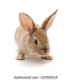 Red baby rabbit isolated on a white background.