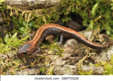 red backed salamander Plethodon cinereus