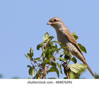 Red backed Shrike, Lanius collurio