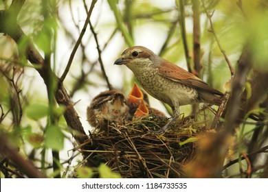 Red backed shrike on the nest