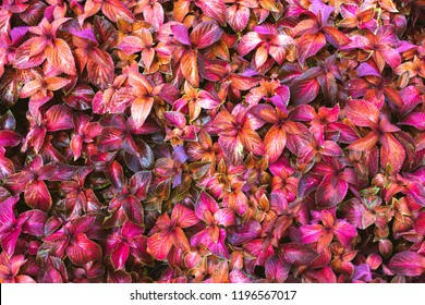 Red background from street flower Coleus (???. Coleus blumeli).