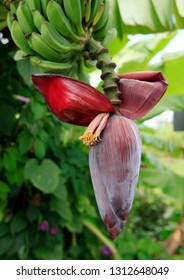 A red banana flower and a handful of green fruits on a tree branch naturally growing in a garden