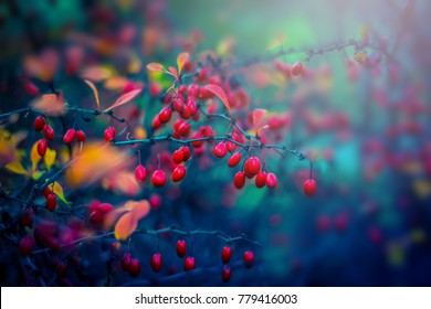 Red barberry. Autumn nature background