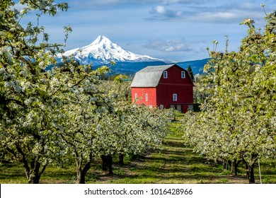 Red barn in Hood River Valley surrounded by pear blossoms with snow covered Mt Hood in the background, Oregon