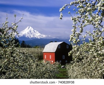 A red barn in a pear orchard with trees in blossom and Mt Hood in the background near Hood River, Oregon.