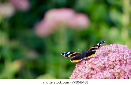Red Baron butterfly feeding on a purple flower