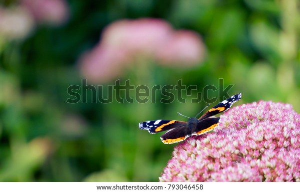Red Baron butterfly feeding on a purple flower