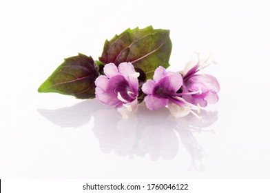 red Basil flowers with fresh young red Basil leaves isolated on a white background