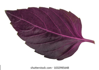 Red basil leaf isolated without shadow