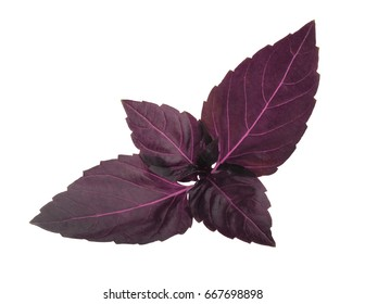 Red basil leaves isolated without shadow