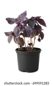 Red basil in pot on white background