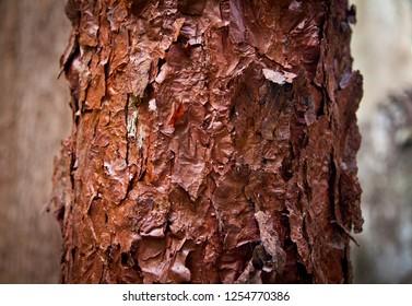 Red Beach Dillenia alata in Daintree North Queensland Australia. Deep red flaky paper like bark.