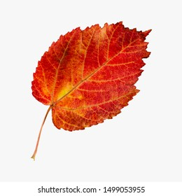 Red beautiful autumn leaf of decorative maple. Isolate on white background