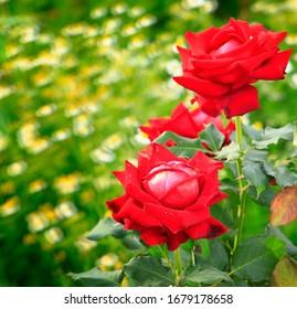 Schöne rote Blume in der Natur