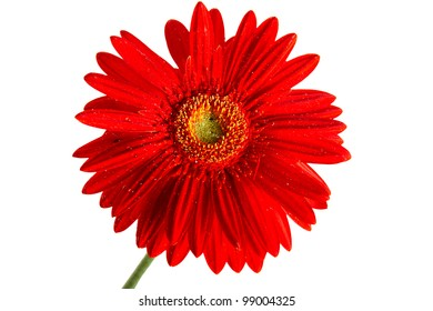 Red beautiful gerber flower isolated over white