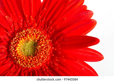 Red beautiful gerbera flower isolated over white