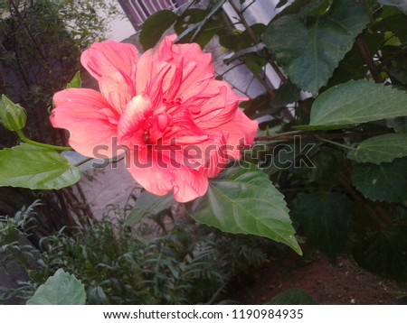 Red Beautiful Hibiscus Flowers Stock Photo Edit Now 1190984935