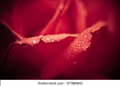 Red beautiful  rose macro with water drops, floral background