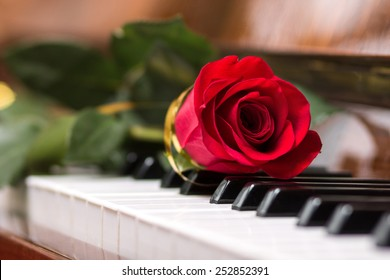 Red beautiful rose on piano keyboard. Music background