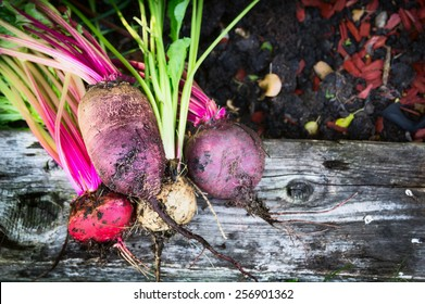 Red beet various on old beam wooden and grass in garden