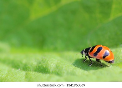 Red beetle with black pattern on the shell on a green leaf, macro, bright colors, high contrast, excellent background