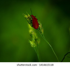 Red beetle climbing grass straw