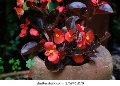 Red Begonia Flowers Blossom Closeup in Summer
