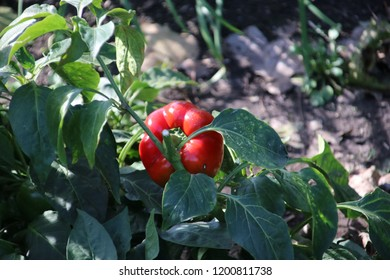 red bell pepper a plant in summer sun at a garden in Capelle aan den Ijssel in Park Hitland