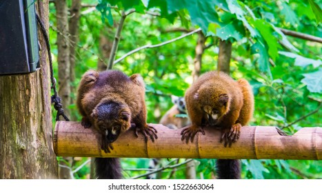 red bellied lemur couple sitting on a branch, tropical monkeys, vulnerable primate specie from Madagascar