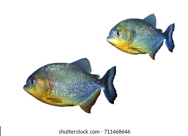 Red Bellied Piranha (Pygocentrus Nattereri) isolated on white background, selective focus. Clipping path included.