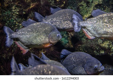 red bellied piranha swimming in a school