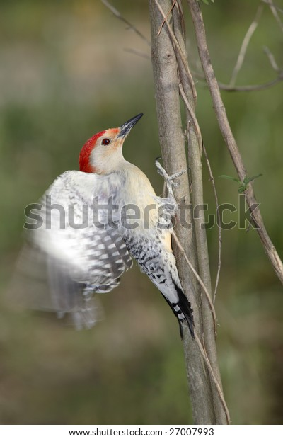 Red Bellied Woodpecker About To Take Flight, Melanerpes carolinus