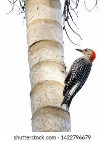 Red Bellied Woodpecker clinging to the bark of a palm tree.