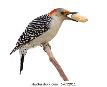 red bellied woodpecker holds a tasty treat in its beak. profile of woodpecker on a branch eating a peanut; isolated on a white background