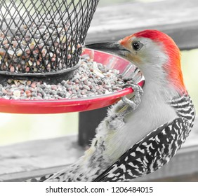 Red bellied woodpecker from Kentucky early fall October nature urban wildlife photography close up