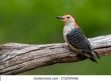 Red bellied Woodpecker in Pennsylvania