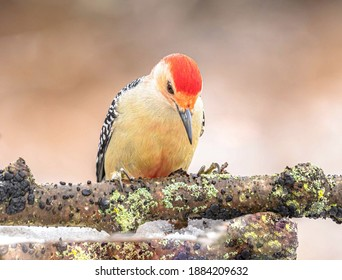 A Red Bellied Woodpecker perched on a branch