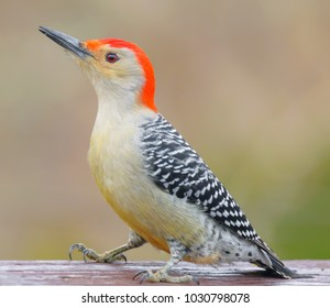 Red bellied woodpecker-Kentucky-Wildlife photography. Urban wildlife.