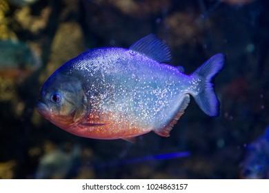 Red Belly piranha in an aquarium.