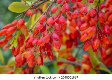 Red Berberis Fruits on branch in sunny garden, close up, macro. Ripe European barberry berries ready for harvesting. Berberis vulgaris or Berberis thunbergii Latin Coronita plant