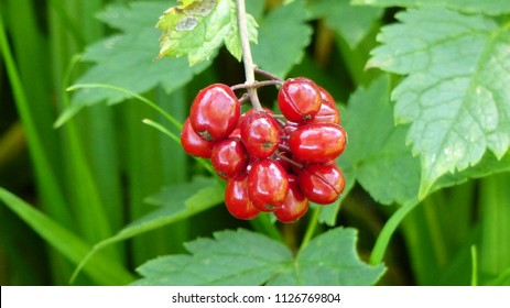 Red berries of Actaea rubra, Ranunculaceae family. USA, Canda, Alaska,