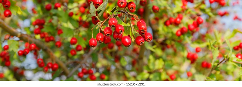 Red berries in autumn tree, banner. Red fruit of Crataegus monogyna, known as  hawthorn or single-seeded hawthorn ( may, mayblossom, maythorn, quickthorn, whitethorn, motherdie, haw )