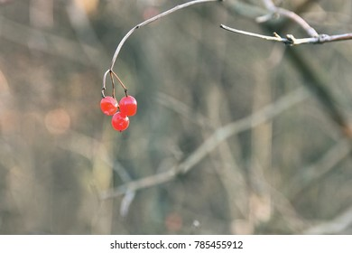 Red berries for birds on a tree branch