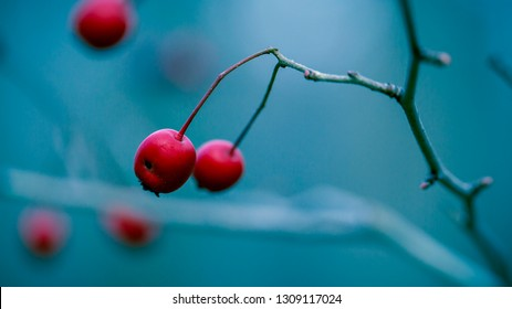 Red berries in a blue background