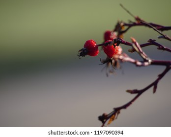 Red berries in a branch on a green background