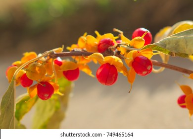 Red Berries Bursting Open, Oriental Bittersweet